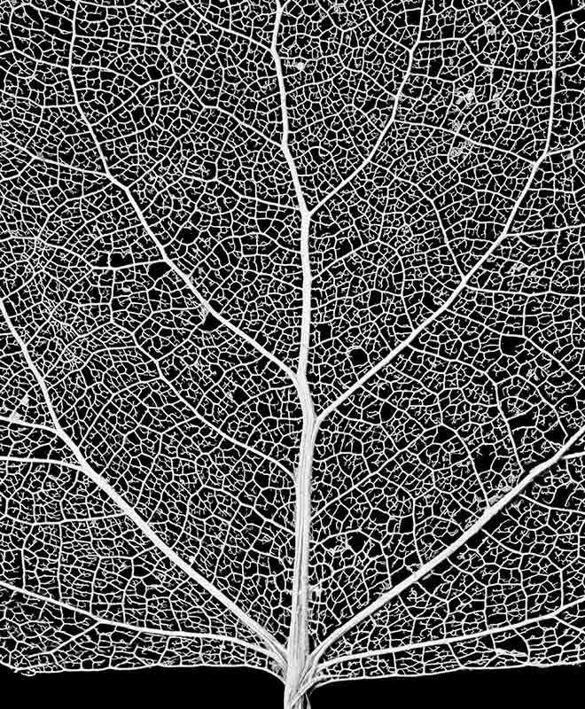 """cottonwood leaf skeleton network close-up ~  """"The Stock Solution Photo Agency"""" - Image Author / Use License: Royce Bair / Creative Commons license"""