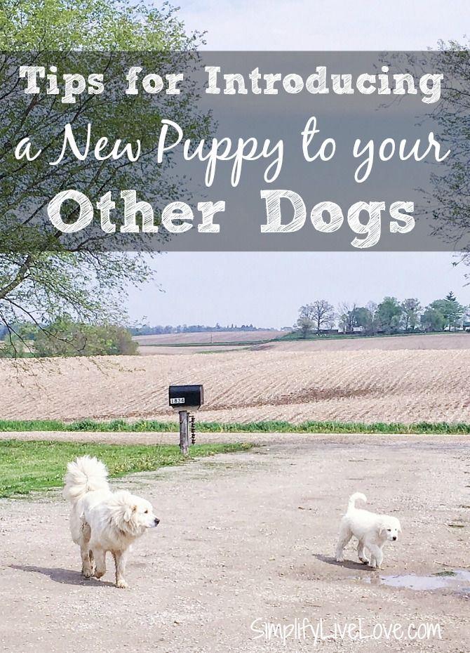 Bringing home a new puppy is fun but can be stressful to some dogs. Use these tips for introducing a new puppy to older dogs to make the transition easier. Many thanks to @WellnessNaturalPetFood for sponsoring this post. #ad
