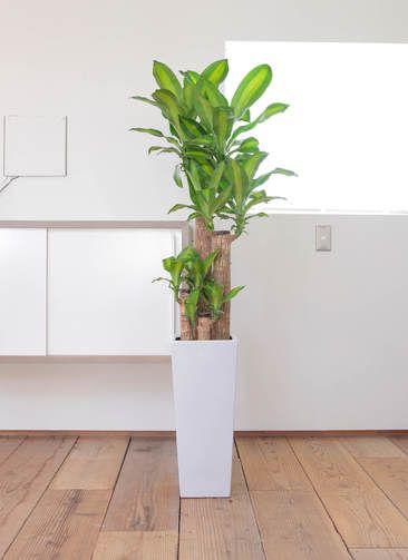 観葉植物 ドラセナ マッサンゲアナ(幸福の木) 8寸 角高陶器
