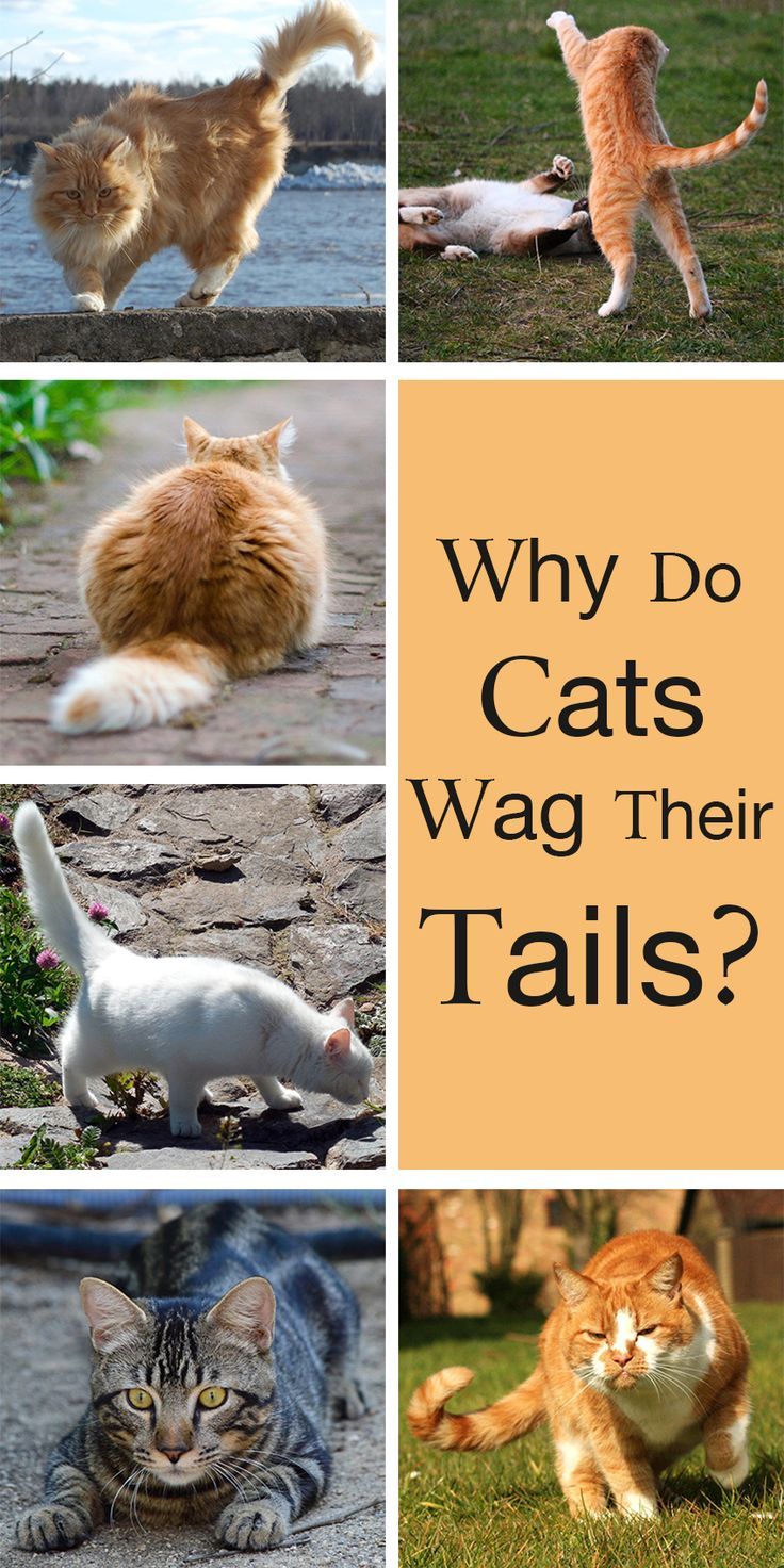 Why do cats wag  their tails? The Happy Cat Site investigates cat tail language to help you build a better relationship with your lovely cat