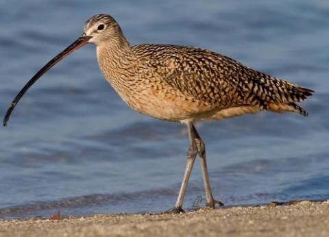 Curlew. Eats: shrimp, crabs, grasshoppers, caterpillars ...