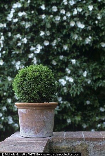 little boxwood container