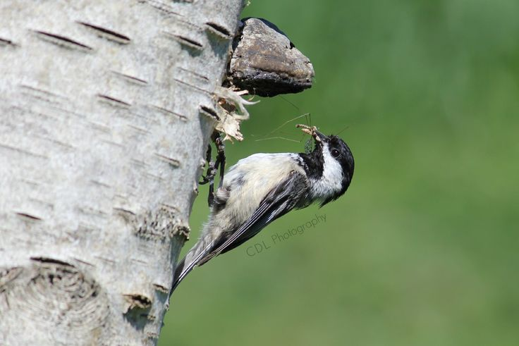 Black-capped Chickadee bringing home dinner...