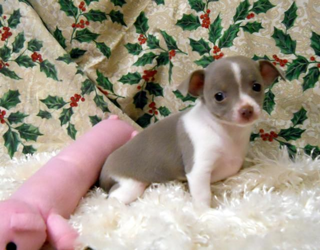 Chiweenie puppies for sale in oregon
