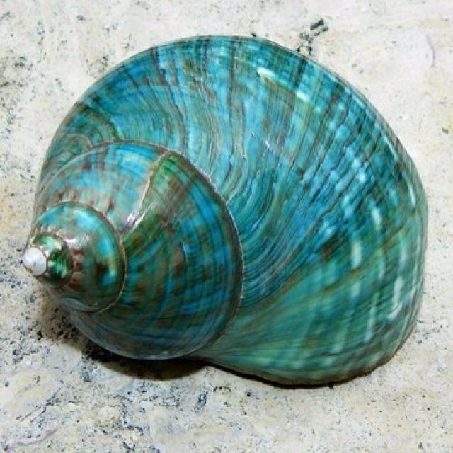 *seashell