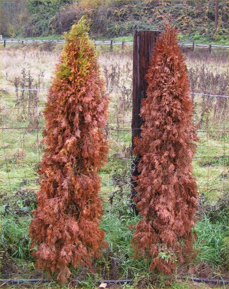 Arborvitae What you Need to Know about Emerald Greens