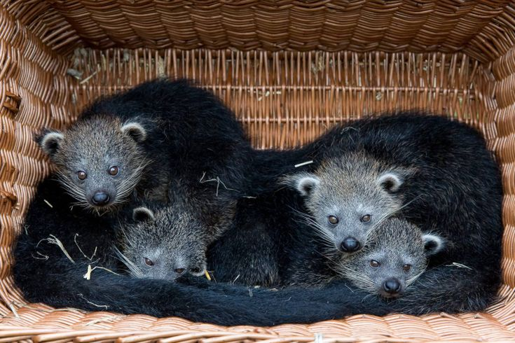 On July 21, two Binturongs at Tierpark Berlin became proud parents. Vincent and Fiona welcomed four offspring when sixteen-year-old Fiona gave birth to two females and two males.
