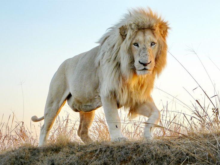 white lion male walking in the sunset by Barbara Fraatz on www.digitalgallery.co.za