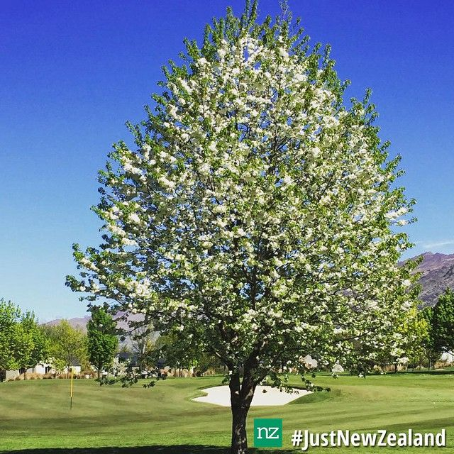 We love spring time at Millbrook Resort in Queenstown! #nz #newzealand #spring #pretty #tree #bluesky #golf #resort #queenstown #holiday #scenic #roadtrip #JustNewZealand