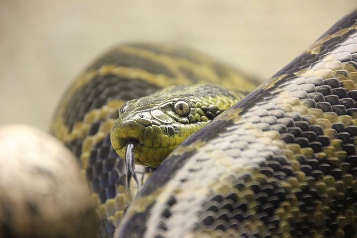 Snake, #ZooParc of #Beauval, Saint-Aignan-sur-Cher, France   by Instant-Shots