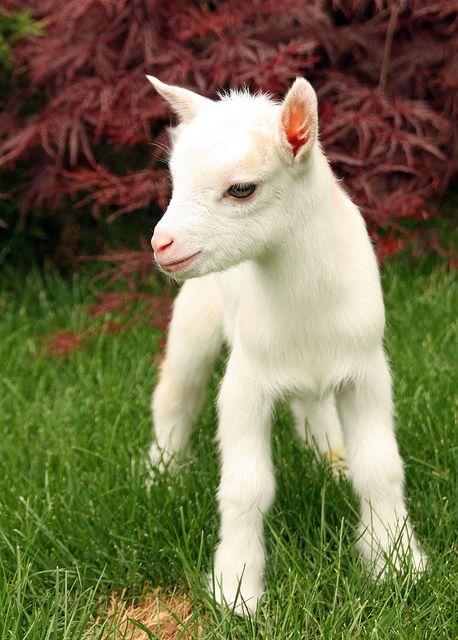Nigerian Dwarf Goat- OMG I want one! How cute!!