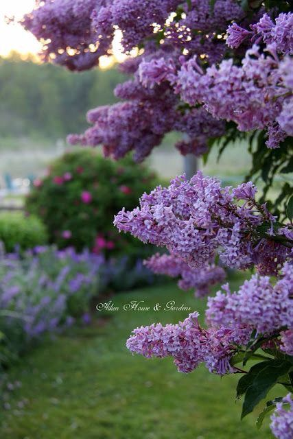 Beautiful garden #lilac