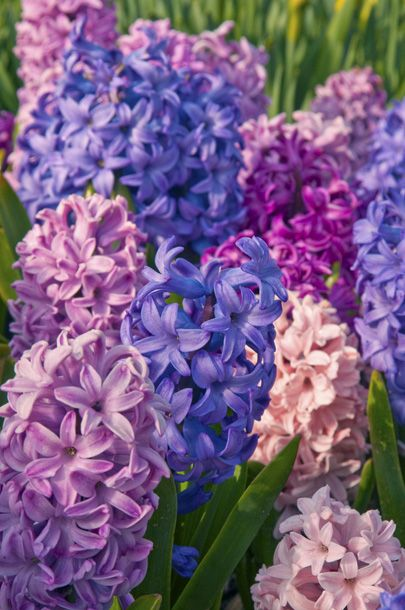 Hyacinth these bulbous flowers are native to the eastern mediterranean area greek mythology - Flowers native to greece a sea of color ...