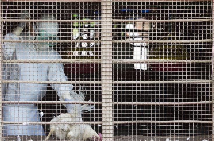 Βουλγαρία-Σε 26 φάρμες κρούσματα γρίπης των πτηνών- Σφαγιάζονται χιλιάδες πτηνά