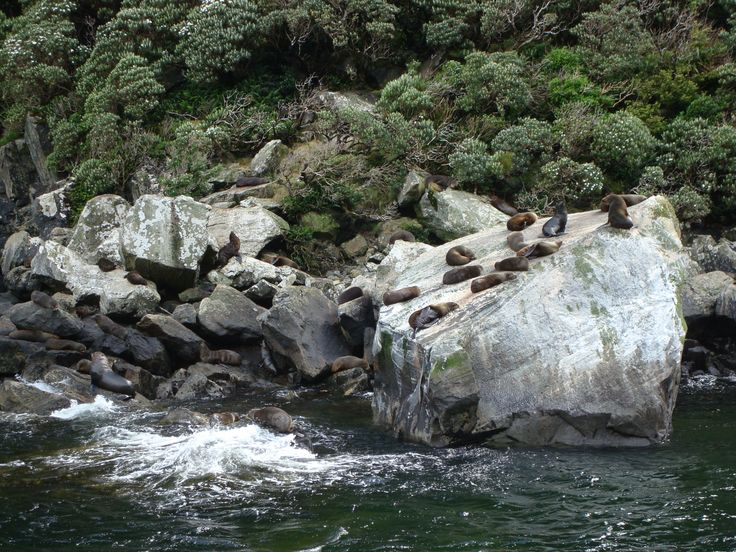 Seals sunbathing on a rock Milford Sound New Zealand By www.silberhorn.co.nz  #travel #nz #silberhorn #travelnz #roadtrip