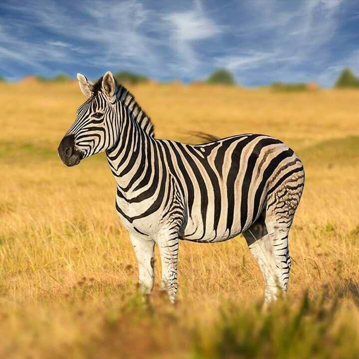 Baby Zebras In Africa 17 Best images ...