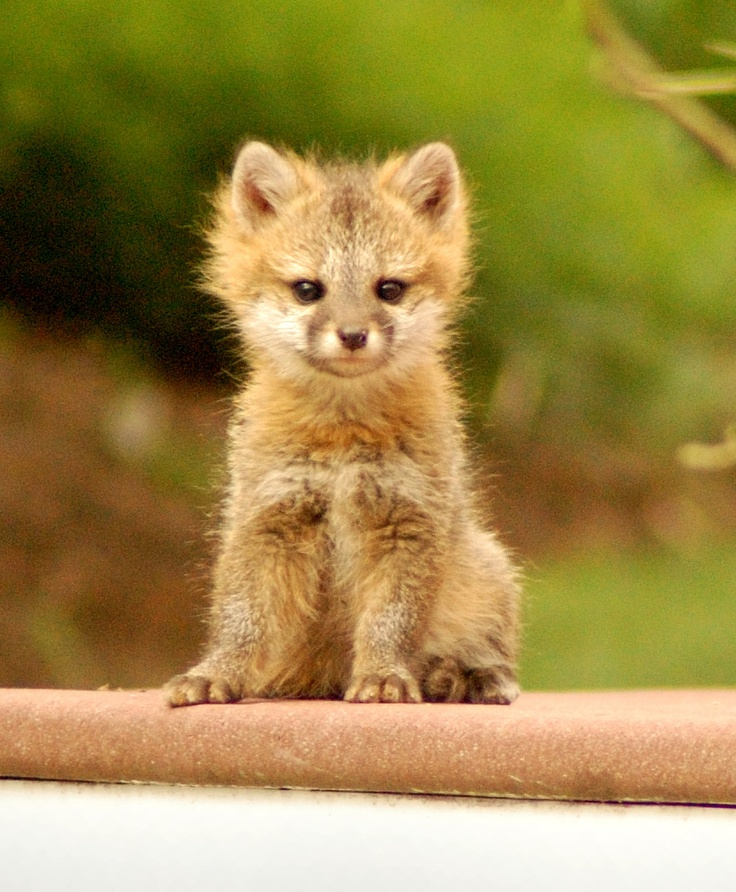 Baby fox... Eli you know me well, did you know I want one!