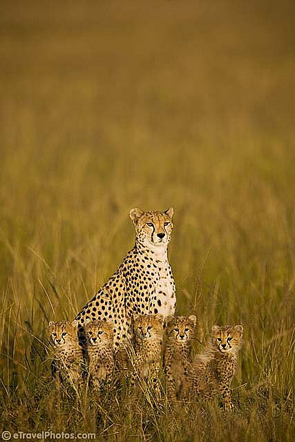 A cheetah with 5 cubs. I would LOVE to see one in real life! Who wouldn't??