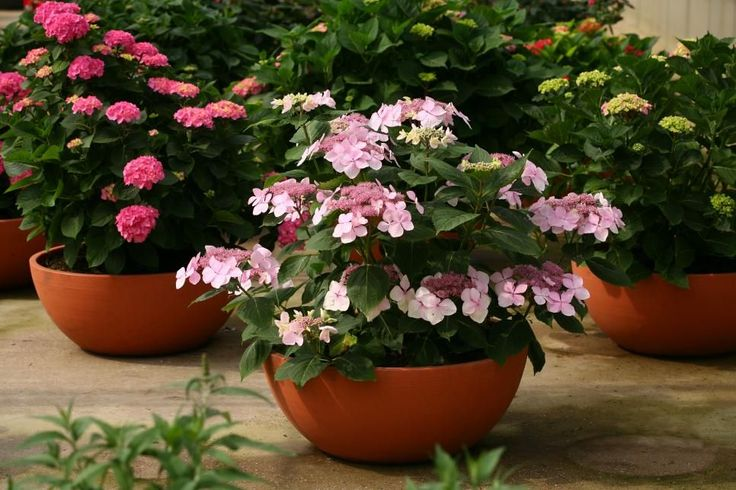 Hydrangea macrophylla Let's Dance 'Diva!'  Use this dwarf, reblooming beauty, Let's Dance 'Diva!', in part sun to sun. It tops out at 2 to 3 feet with big, pink or blue flowers in zones 5 to 9