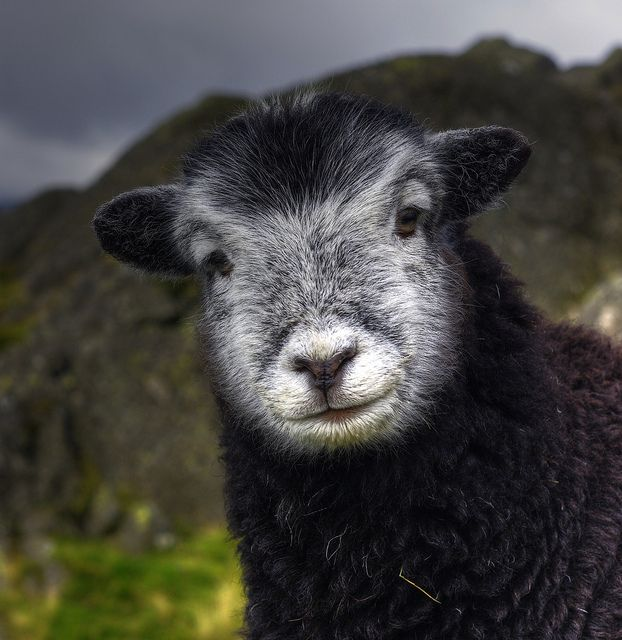 Hello sheep!