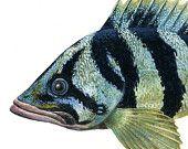 Treefish, original gouache painting.