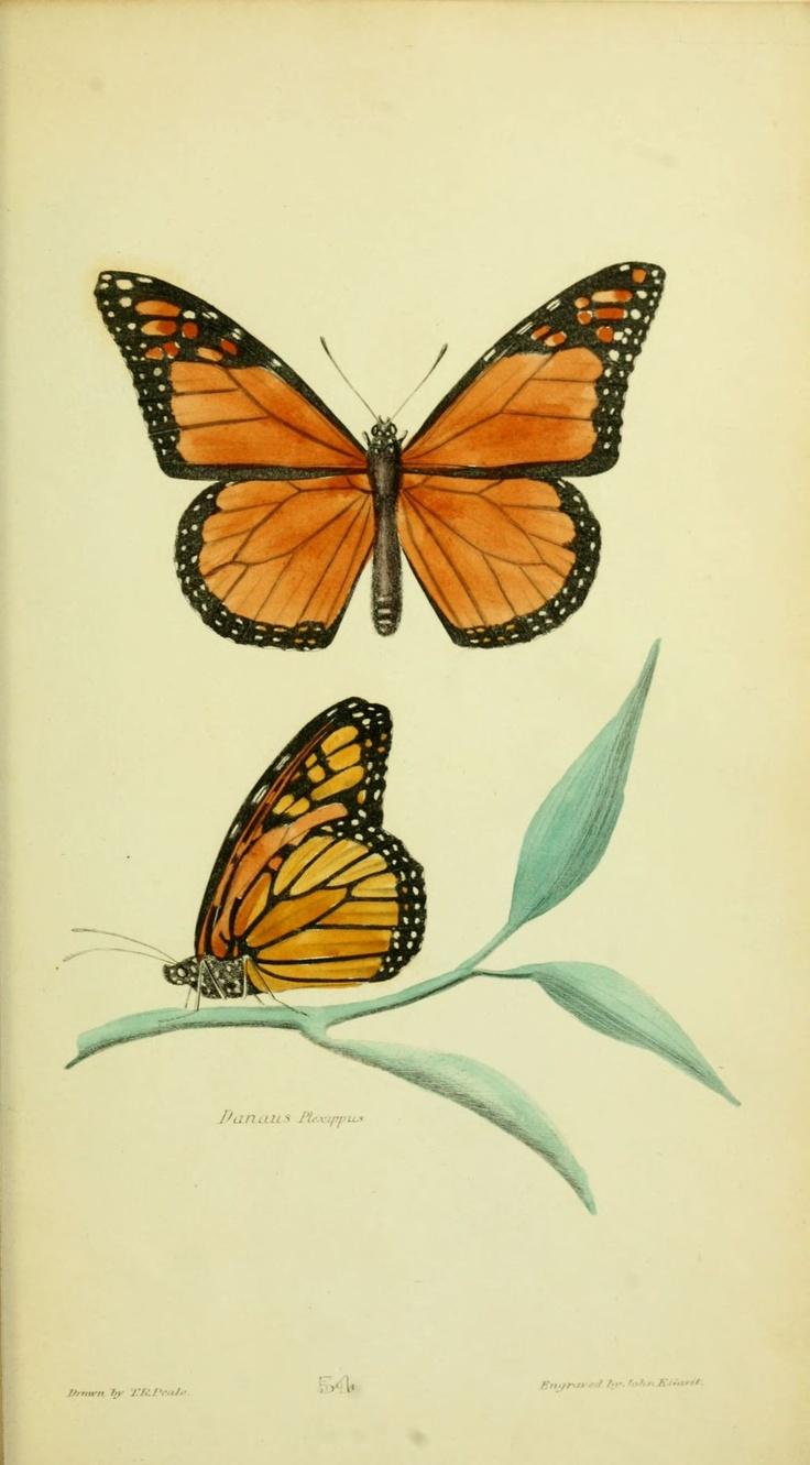 img/dessins insectes amerique du nord/dessin insecte amerique du nord 0549 danaus plexippus.jpg
