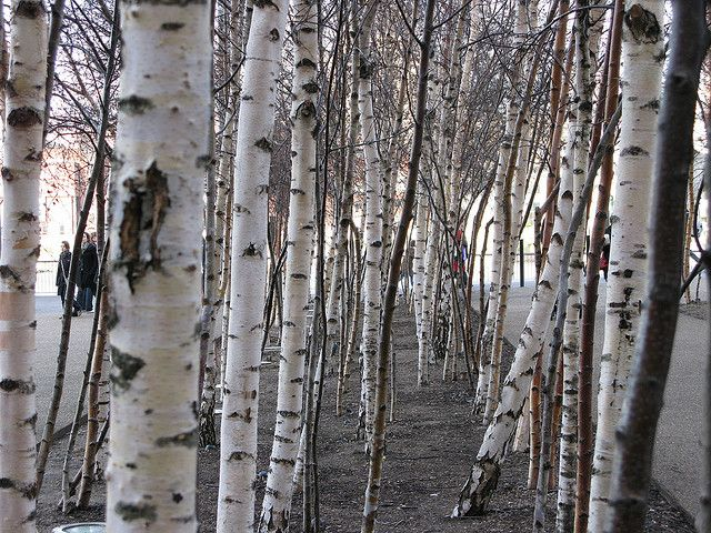 Understand swinger of birch trees possible