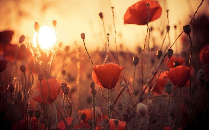 Un champ de coquelicots au soleil couchant...