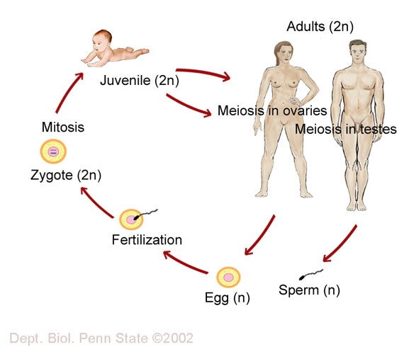 human life cycle | Fruithead research | Pinterest | Life ...