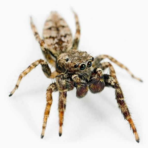 jumping spiders cute images  pinterest