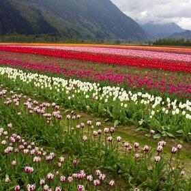 Sea of Tulips in Chilliwack, BC