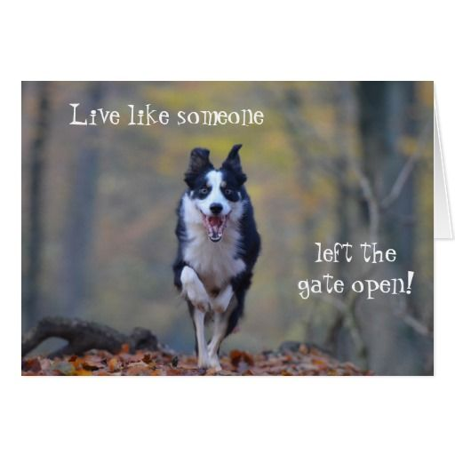 Happy Border Collie dog birthday card