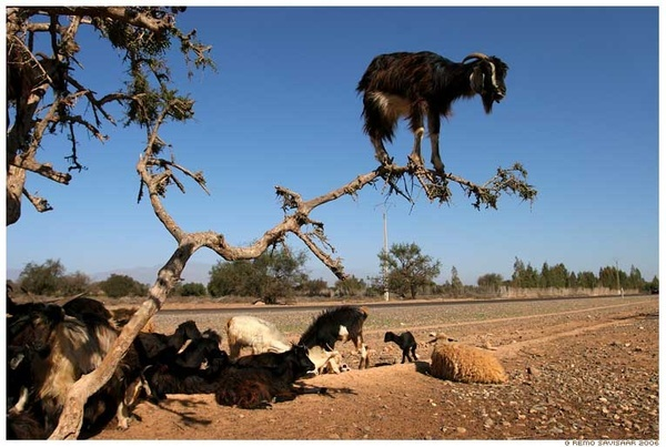 goats #niftyFunny Pics, Funny Pictures, All Animal, Goats Climbing, Trees Climbing, Funny Animal, Silly Animal, Morocco, Baby Goats