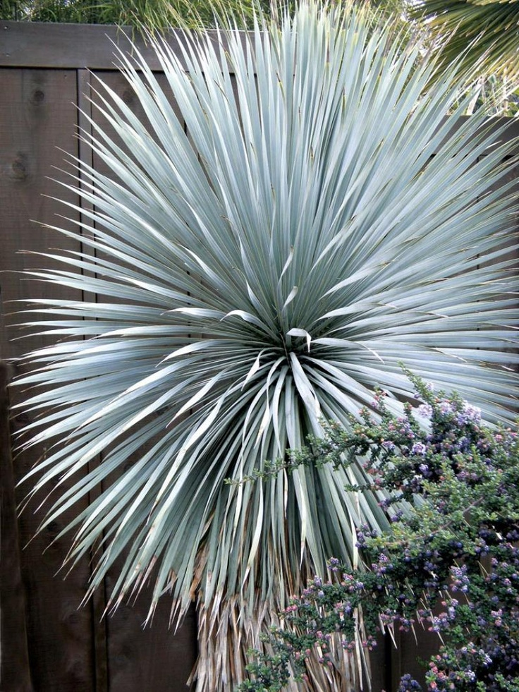 Yucca rostrata 39 sapphire skies 39 gorgeous blooms foliage for Yucca plante