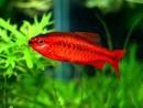 チェリーバルブ: チェリー バルブ, Pretty Fish, バルブ 熱帯魚