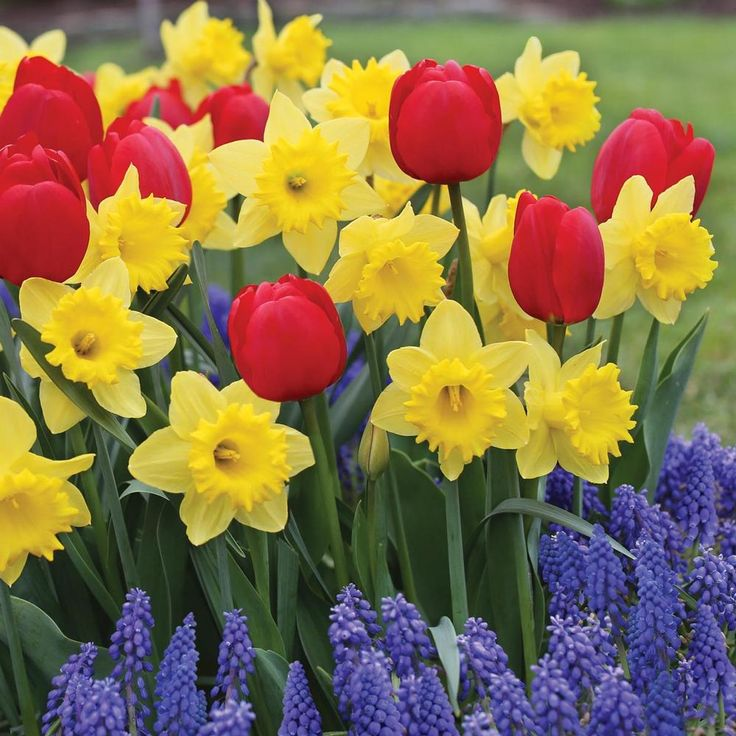 12 best spring bulbs images on pinterest spring bulbs blue lace flower bulb assorted suddenly spring collection this combination of red yellow and blue flowers mightylinksfo