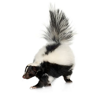 What's that smell? Keep the skunks away from your yard and outdoor guests in 3 easy steps.