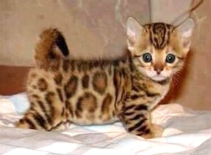 Asian Leopard Kitten: Not really a cat person but would make an exception lol