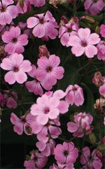 Soapwort - Perennial ground cover