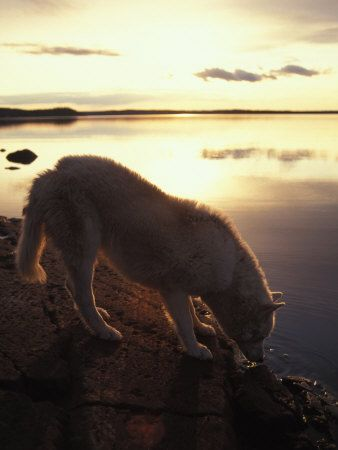 Husky Approaches the Shore, Yellowknife, Northwest Territories, Canada