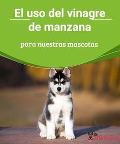 Vinagre de manzana. El uso de este para nuestras mascotas El vinagre de manzana es de mucha utilidad para nuestras mascota pues puede mejorar su salud así como su aspecto. Descubre cómo usarlo. #consejos #vinagre #manzana #mascota