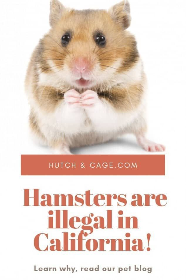 Why Is It Illegal To Own A Hamster In California We Have The Answer
