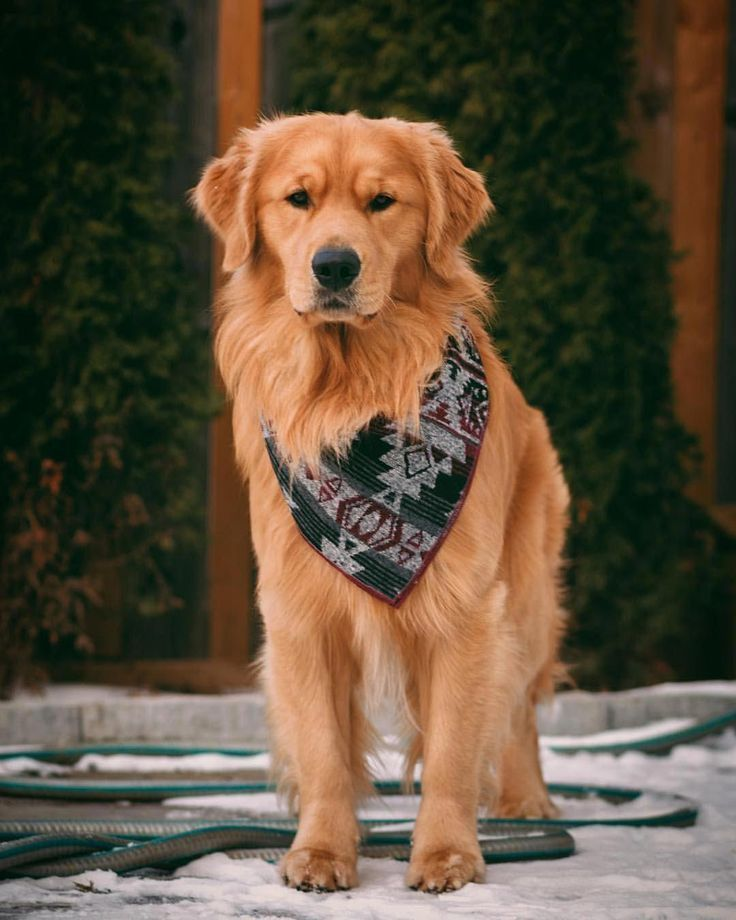 Facts On The Friendly Golden Retriever Dog Grooming Goldenr In