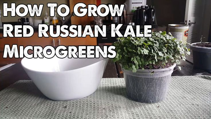 Indoor Vegetable Gardening Red Russian Kale Microgreens. Learn how to grow this super nutritious crop at home indoors!
