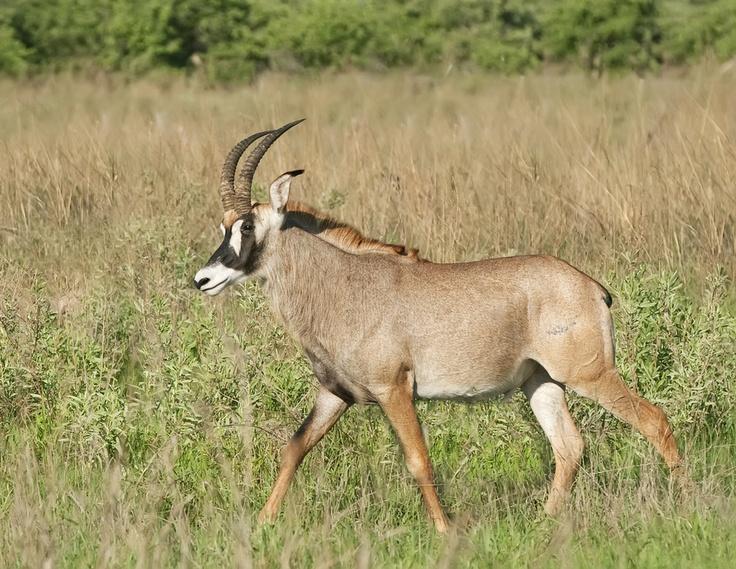 587 best images about ungulates on pinterest ethiopia