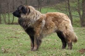 Cão da Serra da Estrela PORTUGAL