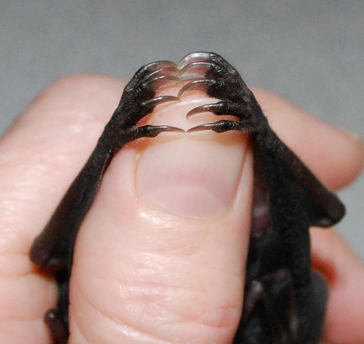 Cornelius, an orphaned Jamaican fruit.  Bat World Sanctuary.