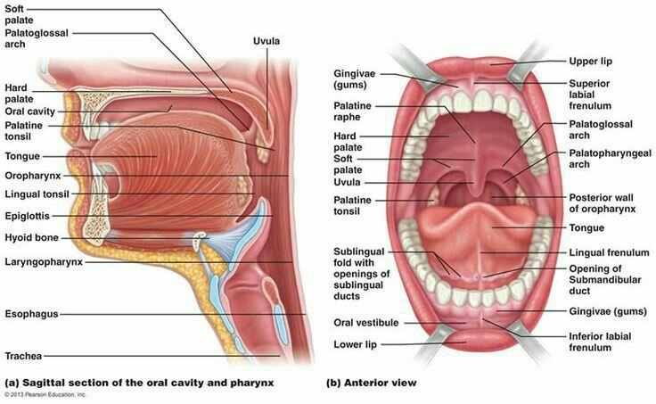 Oral Anatomy Diagram Anatomy Of The Oral Cavity Oral Anatomy