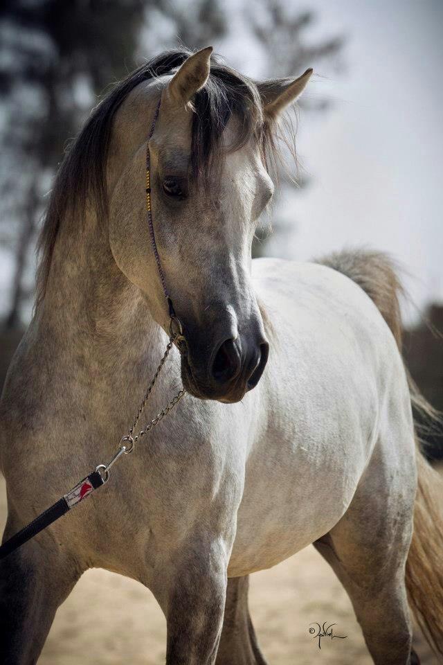 Beautiful dappled grey Arabian.