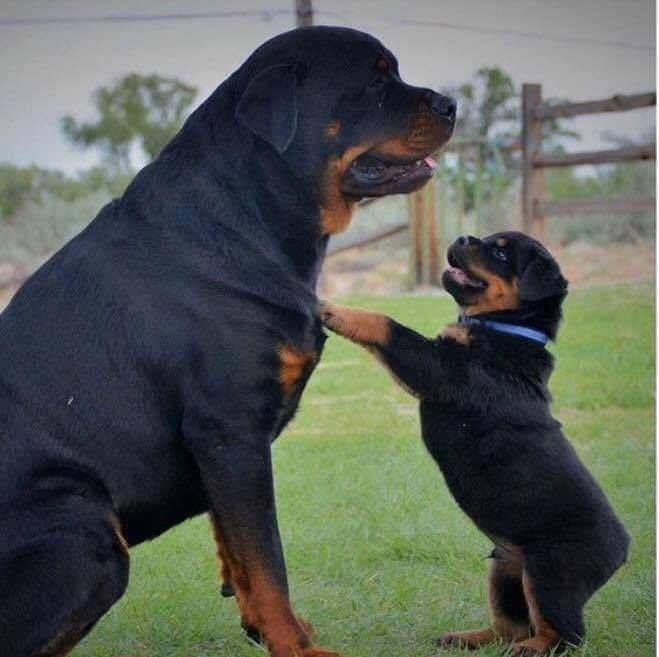 Puppy Gallery Dogs Puppies Rottweiler Puppies